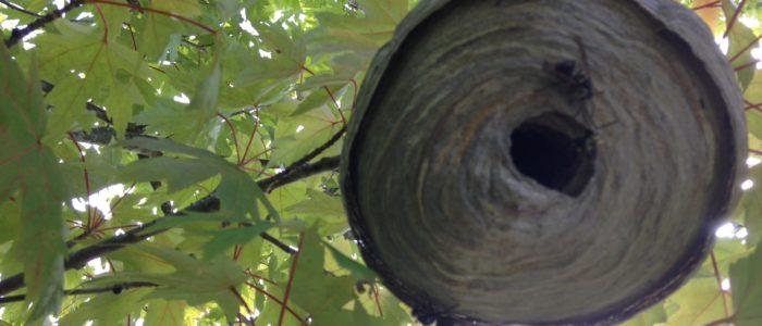 Marble Town Bald Faced Hornet Nest