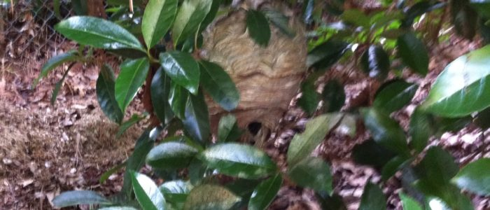A low hanging Bald Faced Hornet Nest removed in Doraville