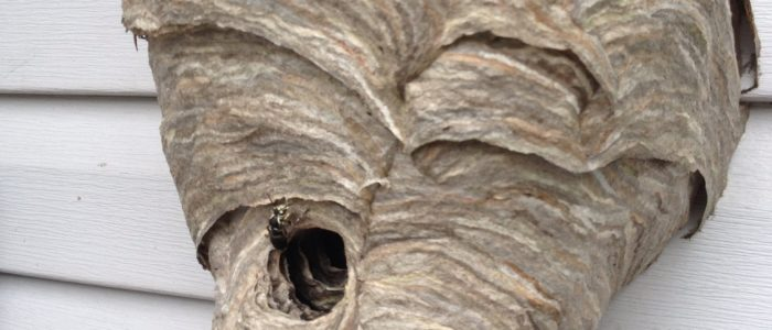 Bald-faced hornet nest johns creek