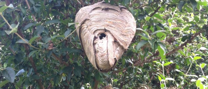 Bald Faced Hornet nest removed in Tucker Georgia