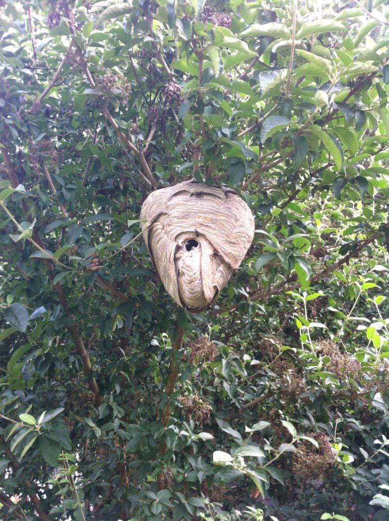 Bald Faced Hornet nest removed in Tucker Georgia