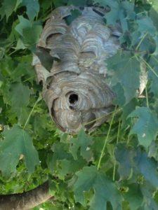 Bald-faced Hornets Nest in Alpharetta