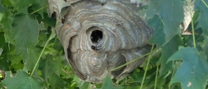 Bald-faced Hornets Nest in Alpharetta