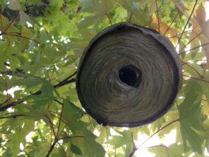 crabapple hornet nest removal