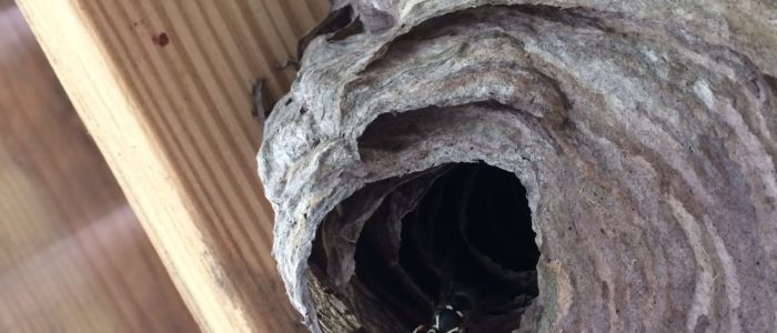 Johns Creek Hornet Nest Removal