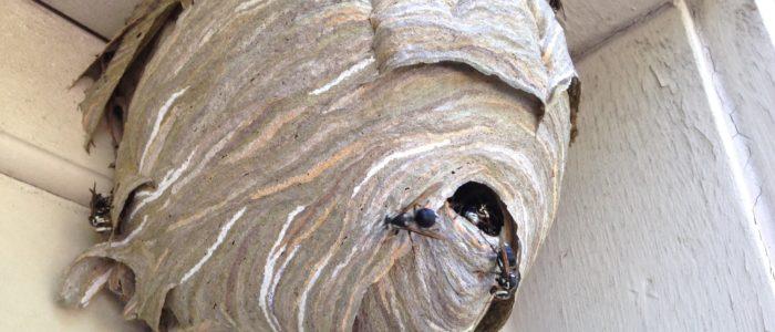 Johns Creek Hornet Nest Removal