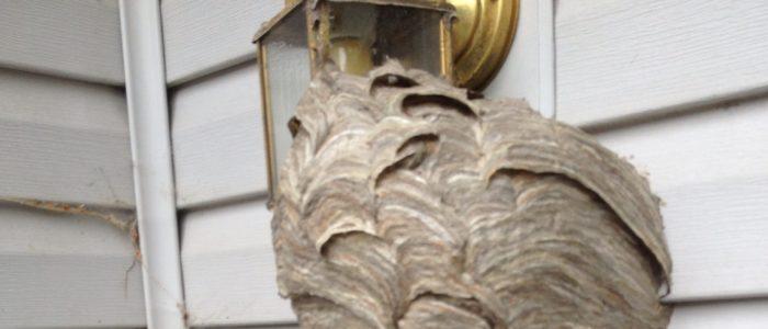 Johns Creek Hornet Nest Removed
