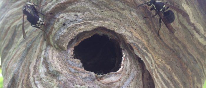 bald faced hornet johns creek