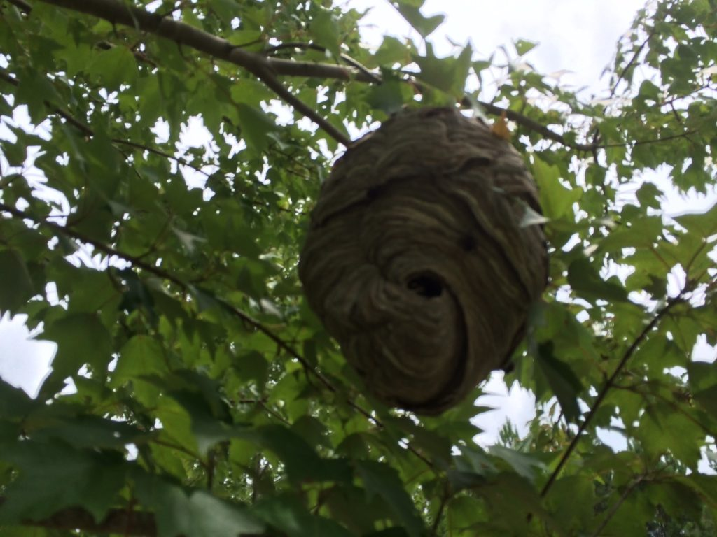 big canoe bald faced hornet nest