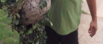 hornet nest removed