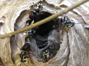 bald faced hornets johns creek